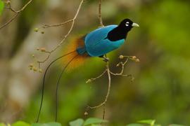 NGM Birds of Paradise Story